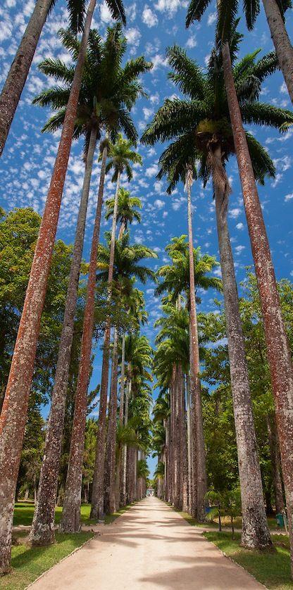 El Jardin Botanico de Rio de Janeiro con sus palmeras imperiales.