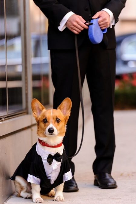 This Corgi looks very dapper in his tuxedo.