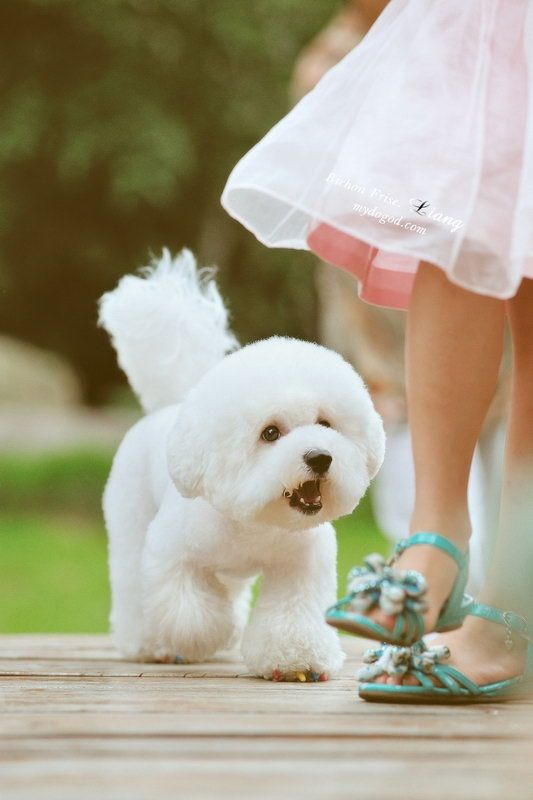 Beautifully groomed, this Bichon Frise is ready to walk down the aisle with the flower girls.