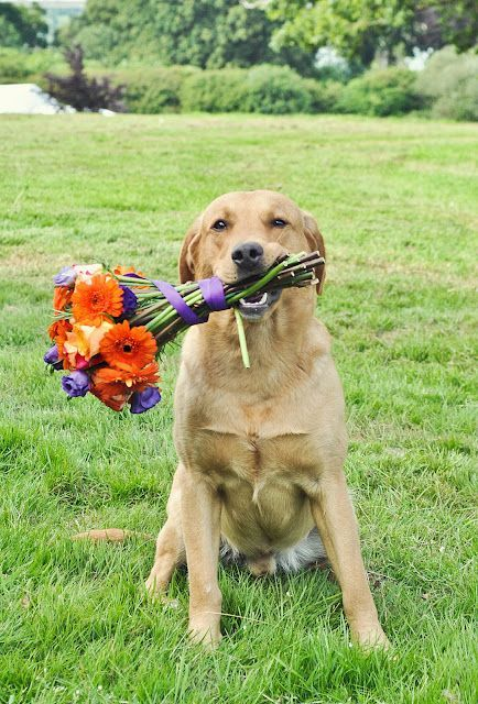 The maid of honor holding the bride's bouquet. Pups in weddings. Photo: kdrouetphotography UK.