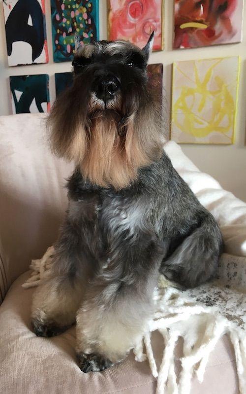Diesel es un perro de exposición que nos muestra el grooming apropiado para los Schnauzers que se preparan para asistir a una boda. Foto y pup de Julie Cohen Professional Groomer, Atlanta, GA.